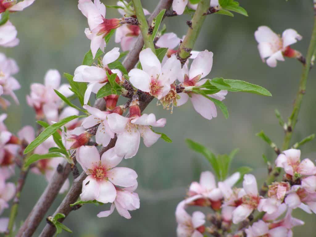 Wandern im März: Mandelblüte in den Bergen Mallorcas