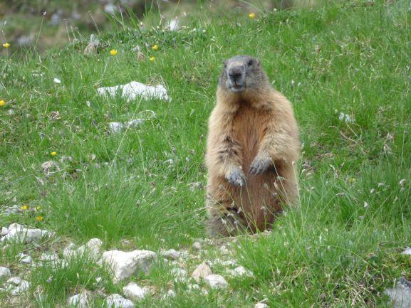 Viele Murmeltiere beäugen uns neugierig