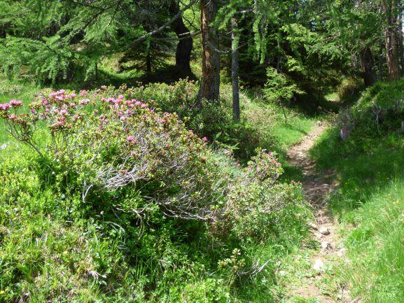Schmale Pfade im Wald, die Alpenrosen blühen.
