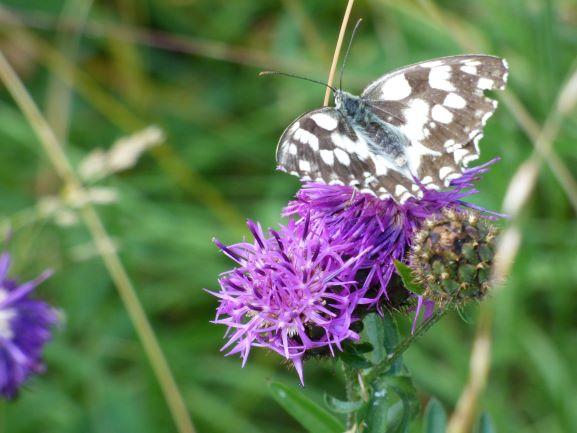 Distel und Schmetterling