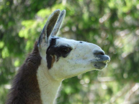 Lamas an der Auerleger Alm